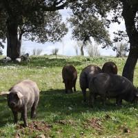 Unas jornadas técnicas sobre el sector del porcino ibérico en Villanueva de Córdoba