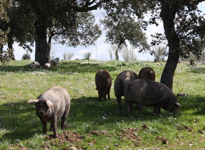 La Guía Repsol incluye la ruta del jamón de Los Pedroches
