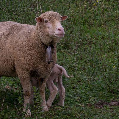 Asaja alerta de la situación dramática para la carne de ovino
