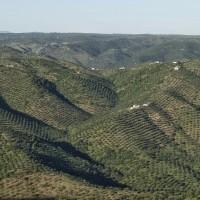 Asaja plantea nuevas ayudas al olivar ante la próxima aprobación de la modificación del PDR