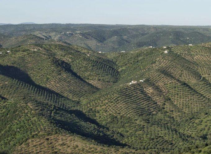 Asaja Córdoba pide a la consejera de Agricultura que convoque de nuevo la ayuda al olivar en pendiente