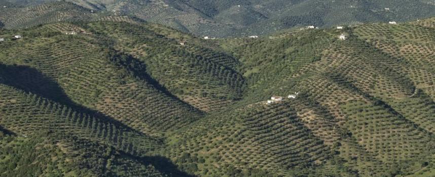 La Junta ha venido reclamando el mismo trato fiscal para el olivo cordobés que para el jienense