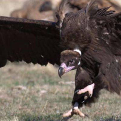 Medio Ambiente desarrolla la XIV campaña divulgativa sobre el buitre negro