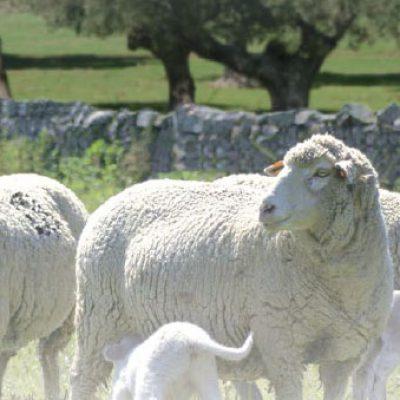 Pozoblanco acoge la celebración de la XIV Lonja Nacional del Ovino
