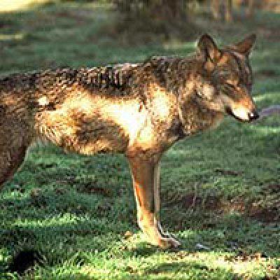 La Junta Rectora del Parque Cardeña Montoro impulsa la conservación del lobo ibérico