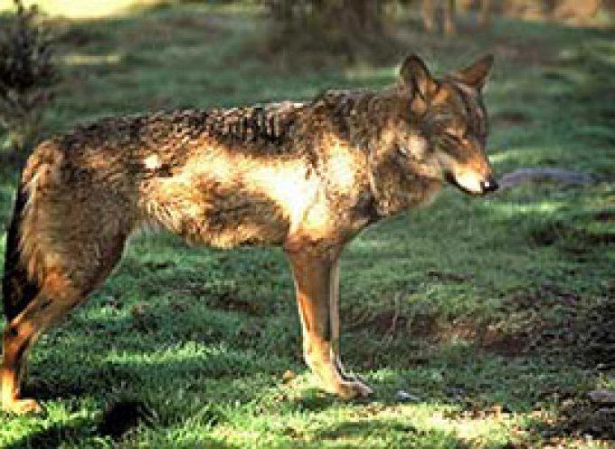 EQUO pide entender la recuperación del lobo como una oportunidad para las zonas rurales