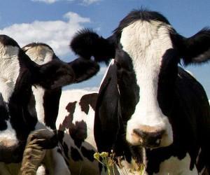 Publicadas las condiciones de acceso y los formularios de ayuda a la reducción de la producción de leche de vaca