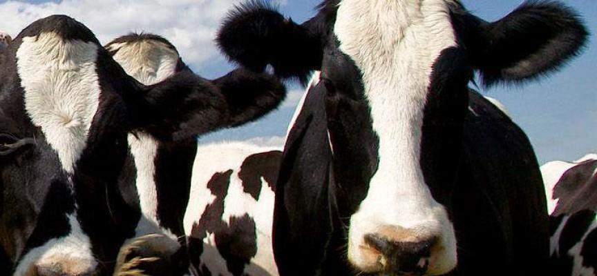 Ayudas para compensar a 41 ganaderos de Córdoba que van a reducir la producción de leche de vaca