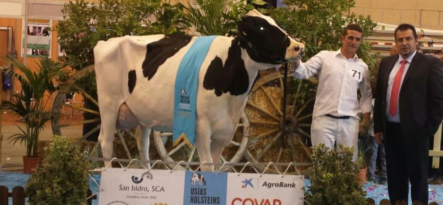 Finaliza superando expectativas la Feria del Ganado Vacuno de Raza Frisona 'Usías Holsteins'