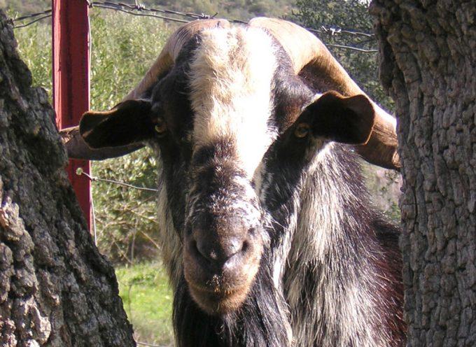El centro Ifapa de Hinojosa del Duque trabaja con cabras de raza payoya