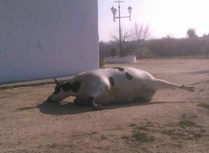 Abandonan una vaca muerta junto a la ermita de Santo Domingo de Hinojosa del Duque
