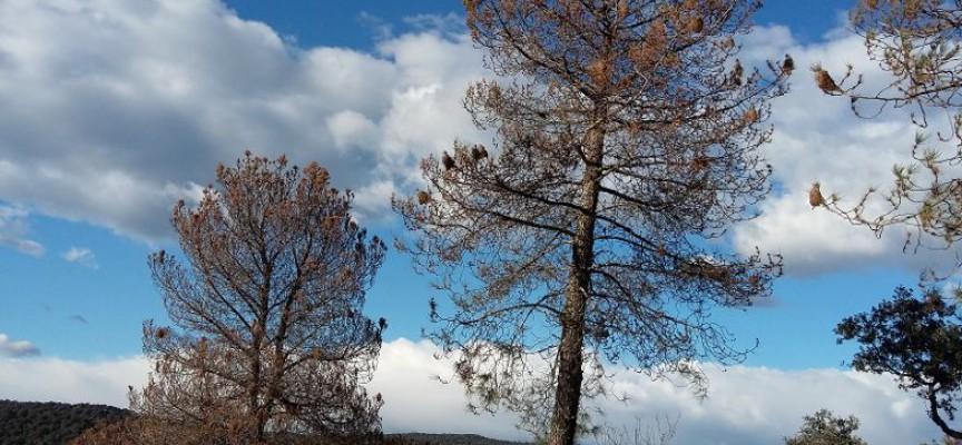 Asaja alerta de la grave situación de la plaga de procesionaria en los pinos