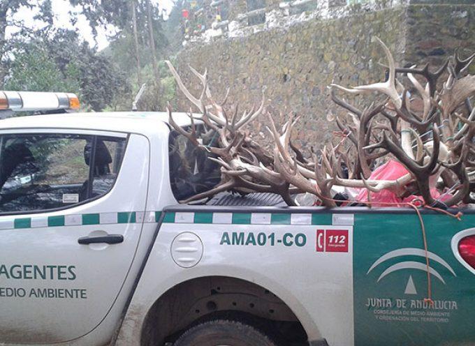 Agentes de Medio Ambiente decomisan en Pozoblanco 20 trofeos procedentes presuntamente de caza furtiva