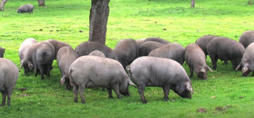 Una jornada técnica sobre el porcino ibérico en Villanueva de Córdoba