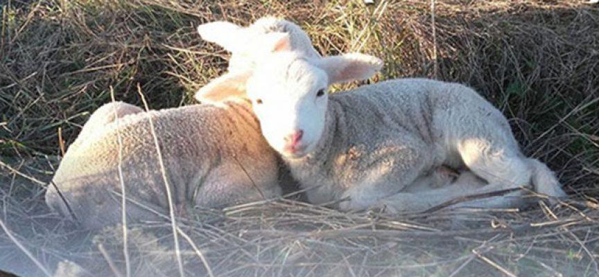 La Feria del Pastoreo de Villaralto llega a su quinta edición