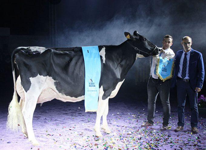 'Copada Fever 5' de la ganadería de La Loma La Copada, la 'Gran Vaca Campeona'