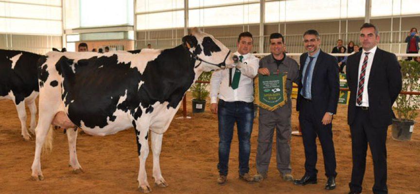 El concurso de vacuno frisón vuelve a la Feria Agroganadera con 62 ejemplares y 11 ganaderías