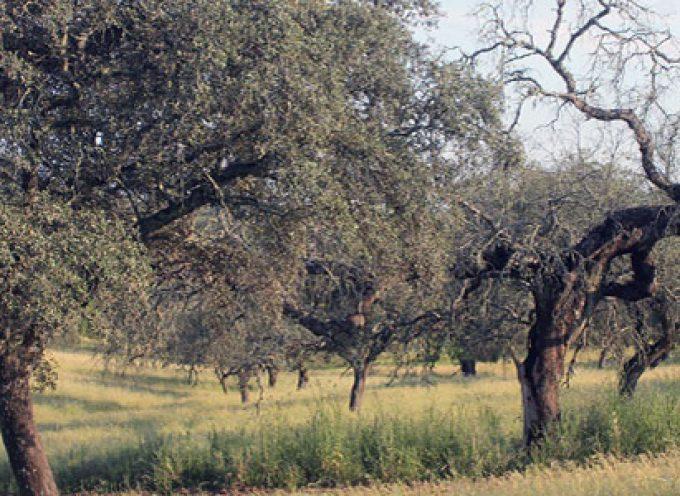 La Junta refuerza la lucha contra la seca en las dehesas andaluzas