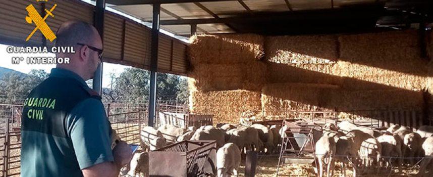 La Guardia Civil detiene a dos personas en Hinojosa del Duque por hurto de ganado ovino