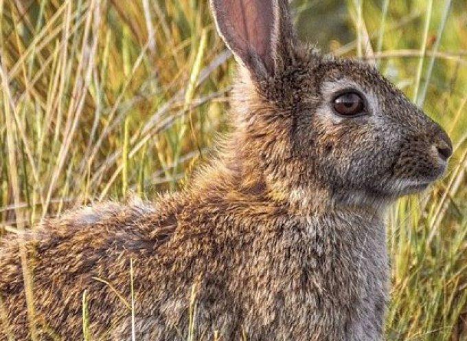 Villanueva del Duque, declarado en emergencia por daños de conejos