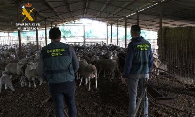 Detenidas cuatro personas en la zona norte de Córdoba por una supuesta estafa en la compra-venta de ganado
